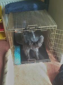 Bertie schnoodle crate image