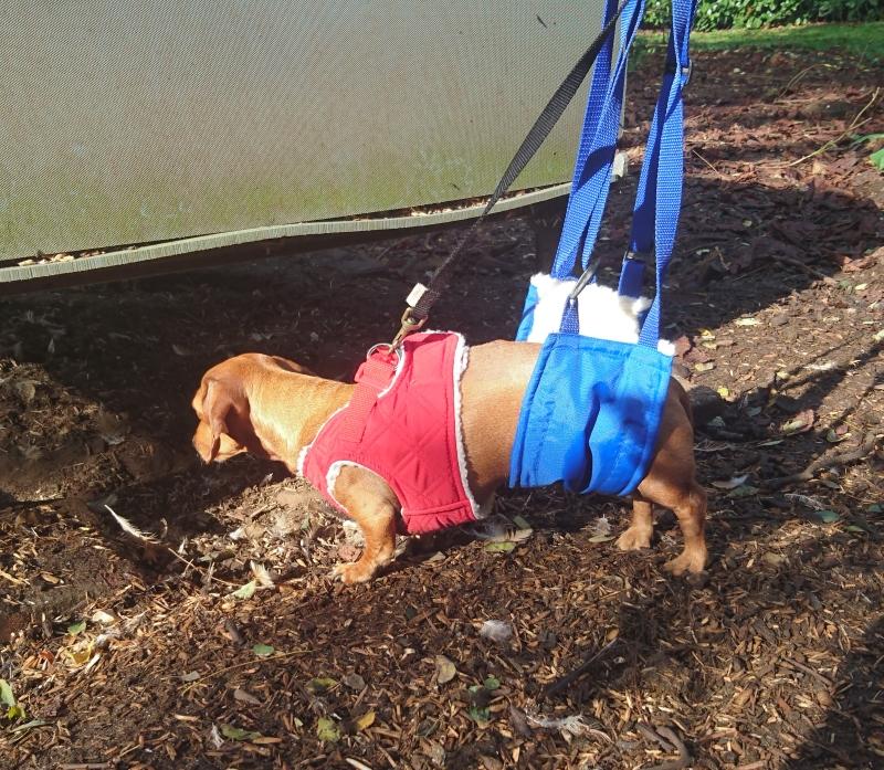 IVDD sling-walking | The Rehab Vet